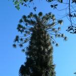 Araucaria (du voisin)