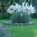 Herbe de la pampa (Cortaderia selloana blanc)