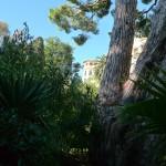 Pin parasol (arbre classé dans le parc)